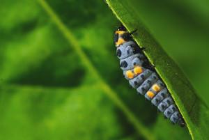 Siebenpunktmarienkäferlarve